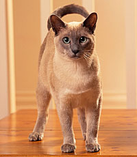 The Tonkinese cat has an