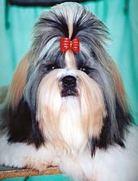 average life of a shih tzu breed profile 2813