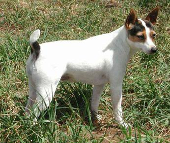 Tenterfield Terrier